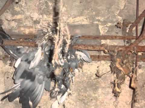 pigeon bones feathers in haunted 47/2 house